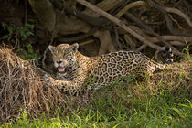 Jaguar (Panthera onca) resting on grass von Panoramic Images