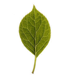 Close up of green leaf on light grey by Panoramic Images