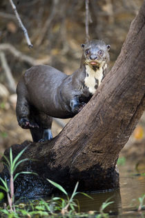 Giant otter (Pteronura brasiliensis) climbing a tree by Panoramic Images