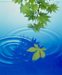 Leaves floating on water von Panoramic Images