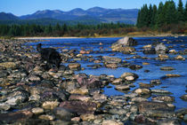 Wolf On Rocks At Edge Of Flathead River von Panoramic Images