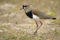 Close-up of a Southern lapwing (Vanellus chilensis) by Panoramic Images