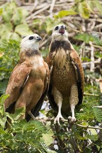 Pair of Black-Collared hawk (Busarellus nigricollis) by Panoramic Images