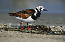 Adult Ruddy Turnstone Seabird (Arenaria Interpres) On Beach von Panoramic Images
