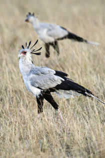 Secretary birds (Sagittarius serpentarius) foraging by Panoramic Images