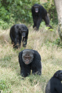 Chimpanzees (Pan troglodytes) walking in a forest, Kibale National Park, Uganda by Panoramic Images