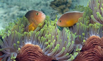 Two Skunk Anemone fish and Indian Bulb Anemone von Panoramic Images