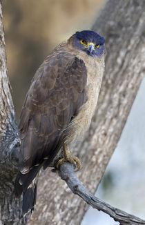 Crested Serpent eagle (Spilornis cheela) perching on tree von Panoramic Images