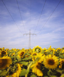 Power lines over a sunflower field, Baden-Wurttemberg, Germany von Panoramic Images