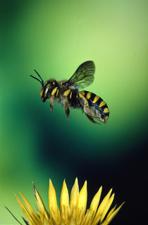 Wasp hovering over a flower by Panoramic Images