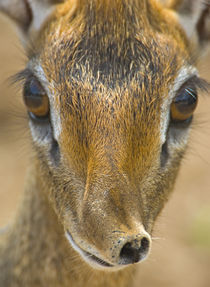 Close-up of a Kirk's dik-dik by Panoramic Images