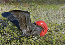 Close-up of a Magnificent Frigatebird (Fregata magnificens) by Panoramic Images