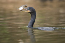 Neotropic cormorant (Phalacrocorax brasilianus) with fish in beak von Panoramic Images