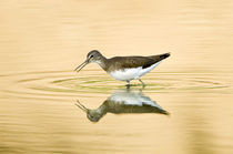 Close-up of a Wood sandpiper (Tringa glareola) in water von Panoramic Images