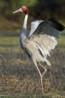 Close-up of a Sarus crane (Grus antigone) spreading its wings by Panoramic Images