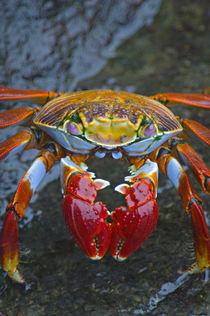 Close-up of a Sally Lightfoot crab (Grapsus grapsus), Galapagos Islands, Ecuador von Panoramic Images