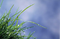 Dew drops on grass blades von Panoramic Images