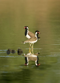 Close-up of two Red-Wattled lapwings (Vanellus indicus) in water von Panoramic Images