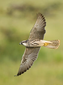 Close-up of a Lanner falcon flying von Panoramic Images