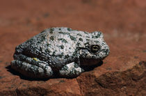 Southwestern Toad (Bufo Microscaphus) On Rock von Panoramic Images