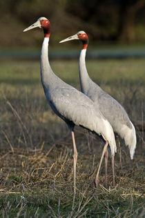 Close-up of two Sarus cranes (Grus antigone) von Panoramic Images