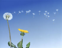 Dandelion (Taraxacum officinale) seeds blowing in the air von Panoramic Images
