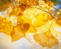 Selective focus close up of golden yellow autumn leaves by Panoramic Images