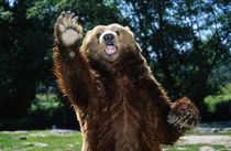 Grizzly Bear On Hind Legs von Panoramic Images