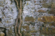 Ivy Bough on Old Wall, Co Waterford, Ireland von Panoramic Images