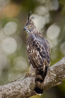Changeable Hawk-Eagle (Nisaetus cirrhatus) perching on tree von Panoramic Images