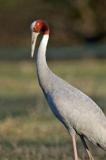 Close-up of a Sarus crane (Grus antigone) by Panoramic Images