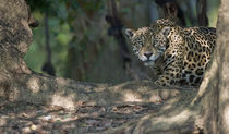 Jaguar (Panthera onca) in a forest von Panoramic Images