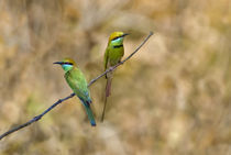 Two Green Bee-Eaters (Merops orientalis) perching on a branch von Panoramic Images