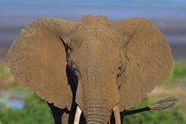 Close-up of an African elephant by Panoramic Images