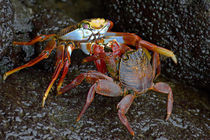 Close-up of two Sally Lightfoot crabs (Grapsus grapsus) von Panoramic Images