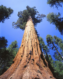 USA, California, Giant sequoia by Panoramic Images