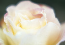 Close-up of a flower by Panoramic Images