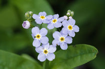 Forget-me-not flowers (Myosotis scorpioides) blooming von Panoramic Images