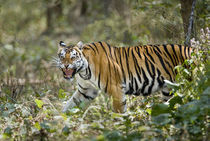 Bengal Tiger (Panthera tigris tigris) in a forest von Panoramic Images