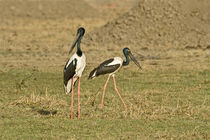 Close-up of two Black-Necked storks (Ephippiorhynchus asiaticus) by Panoramic Images