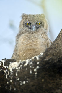 Close-up of a Dusky Eagle-owlet (Bubo coromandus) perching on a tree by Panoramic Images