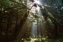 Sunbeams through misty forest, Oregon, united states, von Panoramic Images