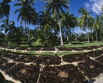 Vanilla beans drying by Panoramic Images