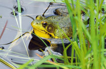 Green frog (Rana clamitans) hiding behind pond grasses, New York, USA. von Panoramic Images