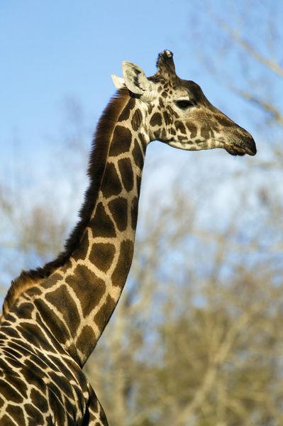 Giraffe  Giraffa