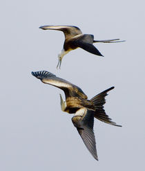 Two Magnificent frigatebirds (Fregata magnificens) flying in the sky von Panoramic Images