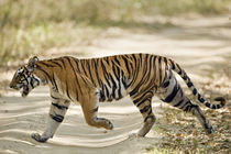 Bengal Tiger (Panthera tigris tigris) walking in a forest