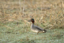 Close-up of a Common teal (Anas crecca) von Panoramic Images