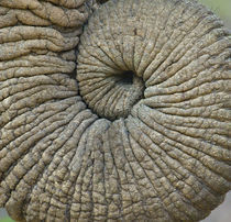 Close-up of an Elephant trunk von Panoramic Images