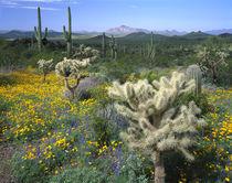 USA, Arizona, Organ Pipe Cactus National Monument von Panoramic Images